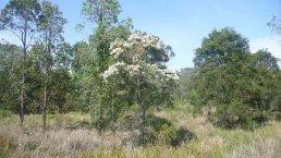 Tea Tree Melaleuca alternifolia in het wild ~ geurhout.nl