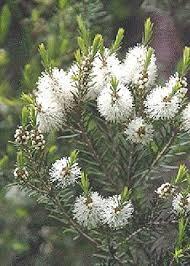 Tea Tree bloemen ~ geurhout.nl